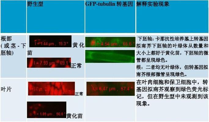 GFP转基因拟南芥的培养及荧光观察